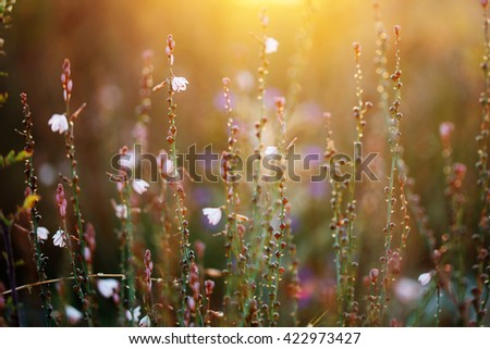 many tall wild meadow beautiful white flowers in field on yellow sunrise natural background. Fresh morning photo