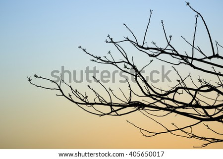 Many thin branches of a tree against the sunset sky
