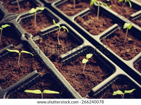 many tomato seedlings growing in black pot - stock photo