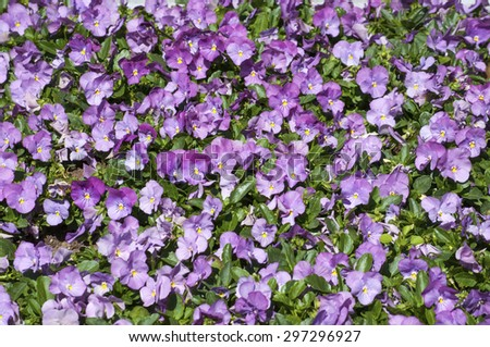 Many violet pansies background
