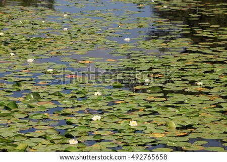 Many water lilies on the water surface