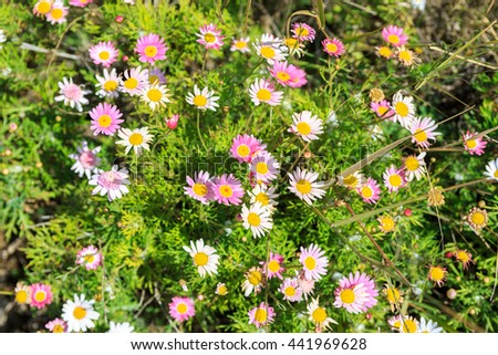 Many white and pink flowers with yellow stamens in garden - stock photo