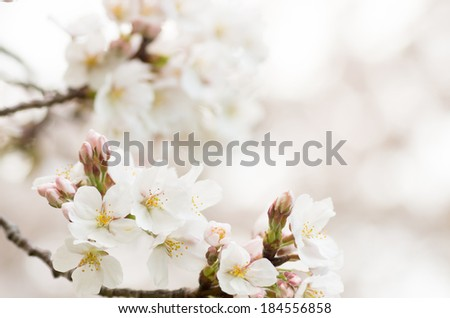 many white cherry blossom