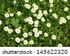 Many white daisies in top view of meadow, several Bird's-eye Speedwell also visible (Bellis perennis and Veronica chamaedrys)  - stock photo