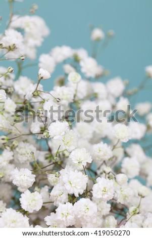 Many white gypsophila (baby's-breath)  flowers - stock photo