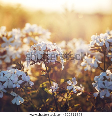 many white meadow wild flower on natural sunset background in field. Vintage outdoor autumn soft fresh photo - stock photo