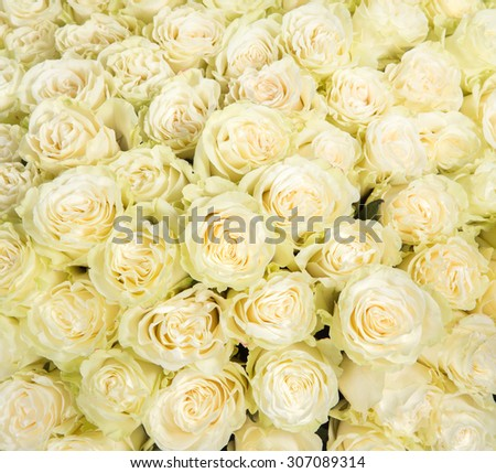 Many white roses as a floral background. - stock photo