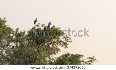 Many White stork birds nesting on trees isolated on white background - stock photo