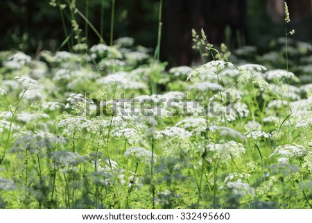Many white wildflowers and fresh green grass in summer forest at sunny day - stock photo