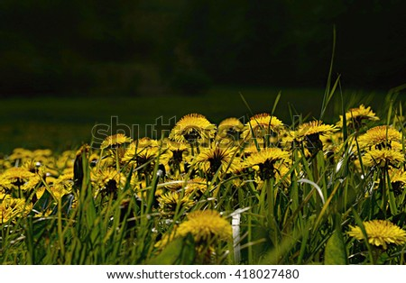 many yellow dandelions in green grass on dark green background in natural habitat - stock photo