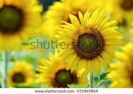 Many yellow flower of the Sunflower or Helianthus Annuus blooming in the farm, Thailand