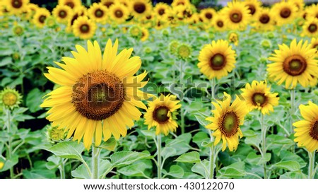 Many yellow flower of the Sunflower or Helianthus Annuus blooming in the field, 16:9 wide screen