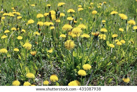 Many yellow flowers dandelions on a sunny day - stock photo