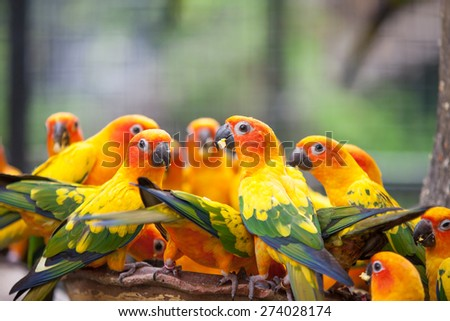 Many yellow parrots eating food close up - stock photo