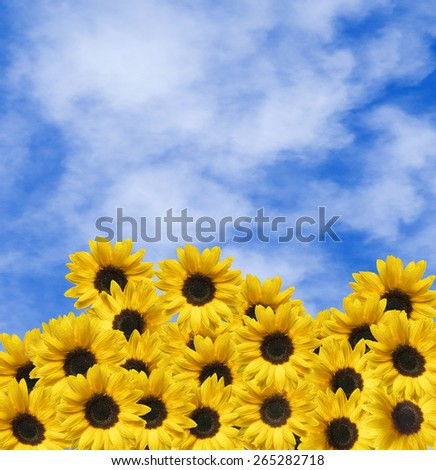 Many yellow sunflowers and blue sky with clouds - stock photo