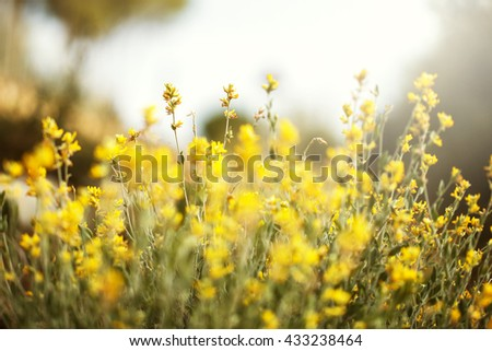 many yellow tall bright wild beautiful flowers and green grass on summer field background. Outdoor nature fresh morning photo - stock photo