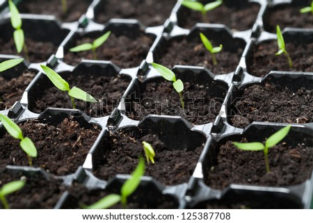 Many young seedlings in germination tray - closeup, shallow depth - stock photo