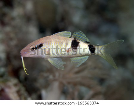 Manybar goatfish in Bohol sea, Phlippines Islands - stock photo