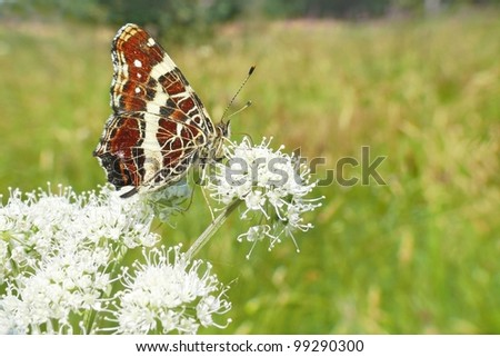 Map butterfly, Araschnia levana - stock photo