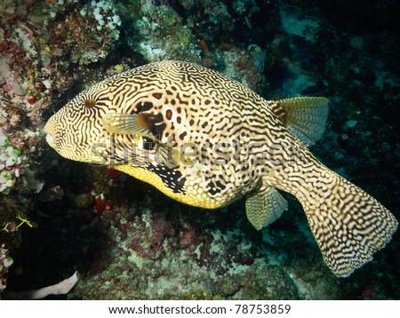 Map puffer fish in Maldives - stock photo