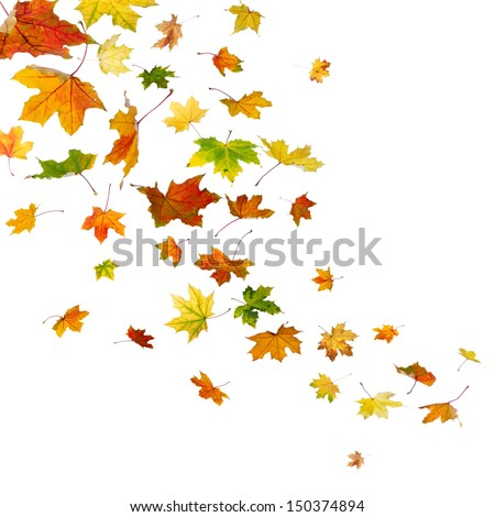Maple autumn falling leaves, isolated on white background. - stock photo