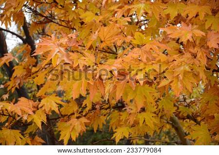 Maple autumn foliage in rainy weather - stock photo