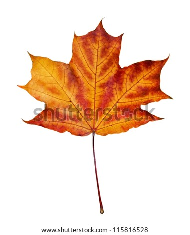 maple autumn leaf isolated on white background - stock photo