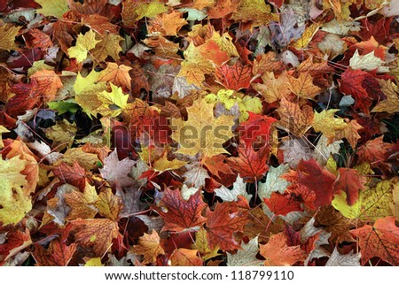Maple Autumn Leaves - stock photo