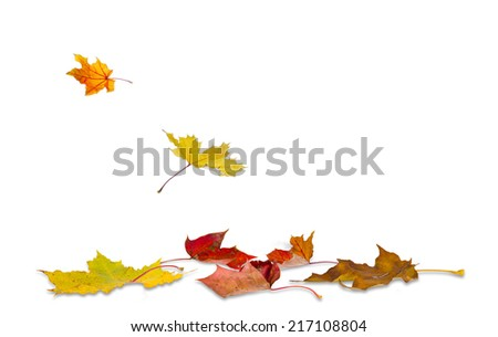 Maple autumn leaves falling to the ground, on white background. - stock photo