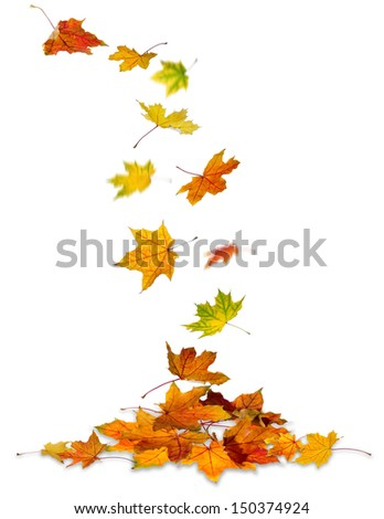 Maple autumn leaves falling to the ground, white background. - stock photo