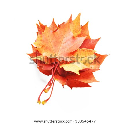 Maple autumn leaves isolated on white