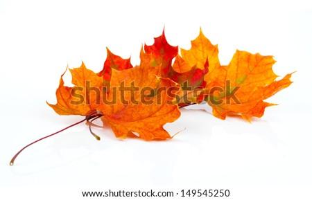 maple autumn leaves isolated on white background - stock photo