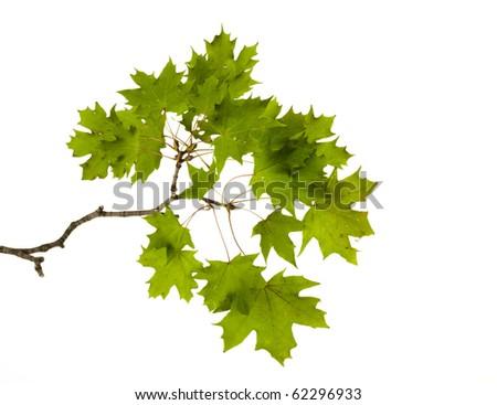 Maple branch - stock photo