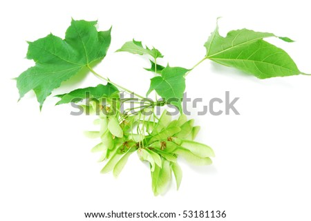Maple branch isolated on white background