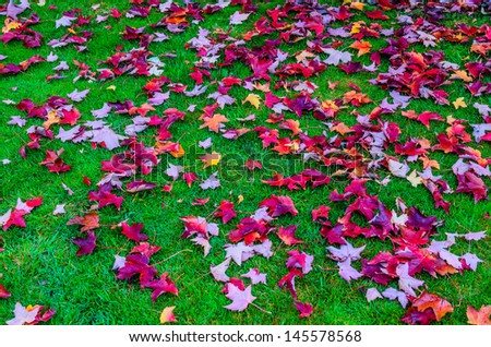 Maple fall on the grass at national park, north island New Zealand. - stock photo