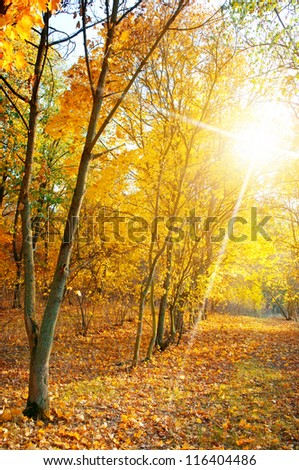 maple forest in autumn