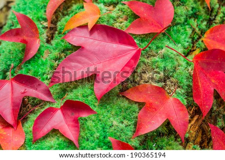 Maple leaf and moss in forest