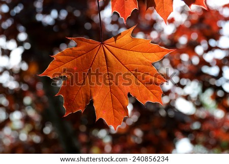 Maple Leaf at sunlight - stock photo