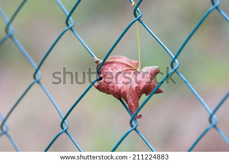 maple leaf caught in a mesh wire fence