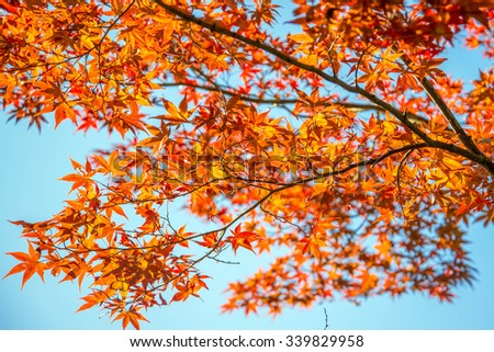 Maple leaf in autumn (fall season)