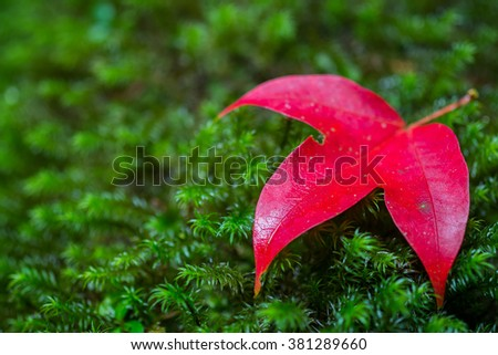 Maple leaf is set on top of the lush green moss in the forest during autumn at Phu kradung National Park, Thailand, Asia - stock photo