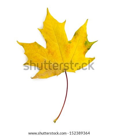 maple leaf isolated with clipping path - stock photo