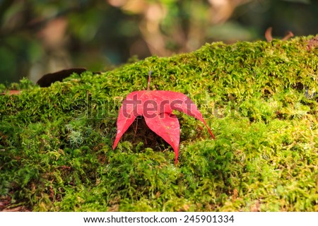 maple leaf on green moss - stock photo