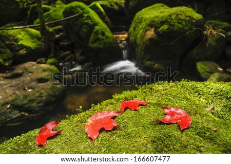 Maple leaf on moss covered rocks near waterfall in rains forest, Thailand.