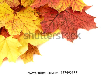 Maple-leaf turned yellow leaves isolated over white as an autumn copyspace background