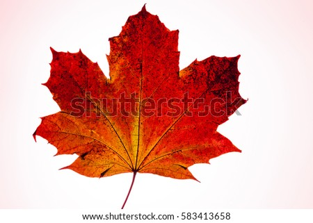 maple leaf with red background