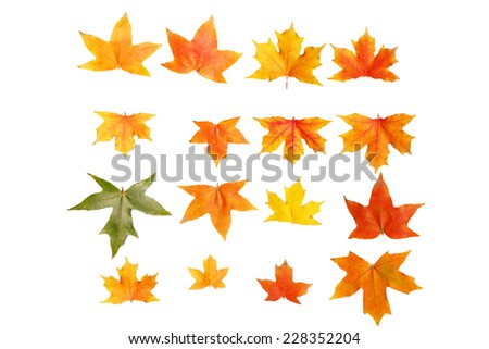 maple leafs - stock photo