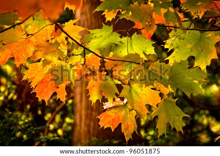 Maple leafs changing from green to red but still hanging on the trees - stock photo