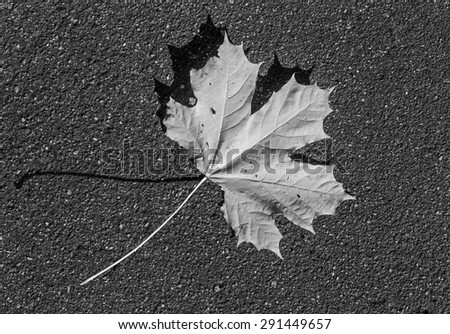 Maple leafs on the ground (black and white)