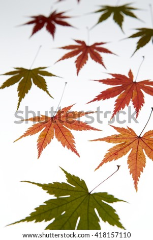 Maple leaves - stock photo